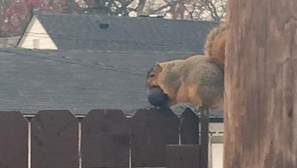 Încălzirea globală are efecte negative asupra veveriţelor. Ce se întâmplă cu rozătoarele