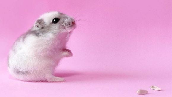 Top 30 cele mai drăgălaşe nume de hamsteri