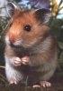 Nutritia hamsterilor