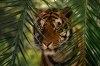 Tigrii din India sunt protejati de lege