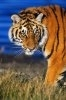 Tigrii sunt pe cale de disparitie