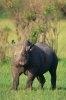 Rinocerii sunt pe cale de disparitie din cauza braconajului