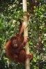 Defrisarile ilegale distrug habitatul orangutanilor