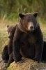 Ursul brun este pe cale de disparitie in Alpi