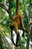 Maimutele din Costa Rica pierd teren in fata dezvoltarii urbane