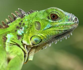 iguana semne de pierdere în greutate