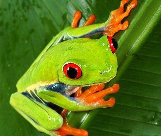 vedere ageră la amfibieni