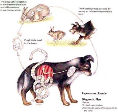 Parazitii intestinali la caini - genul Taenia