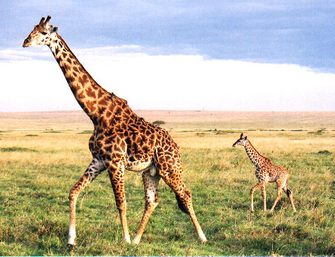 lungimea penisului girafă cum se ondulează un penis