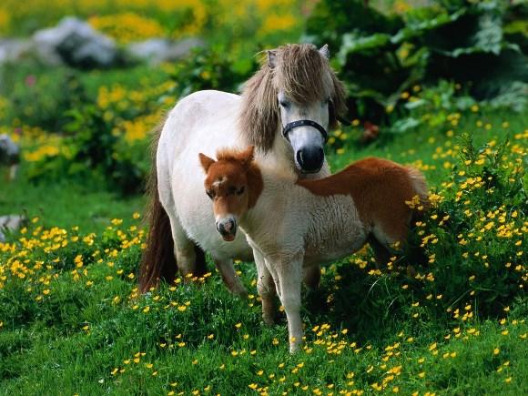ponei trebuie să piardă în greutate