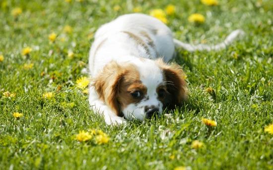 câine giardia