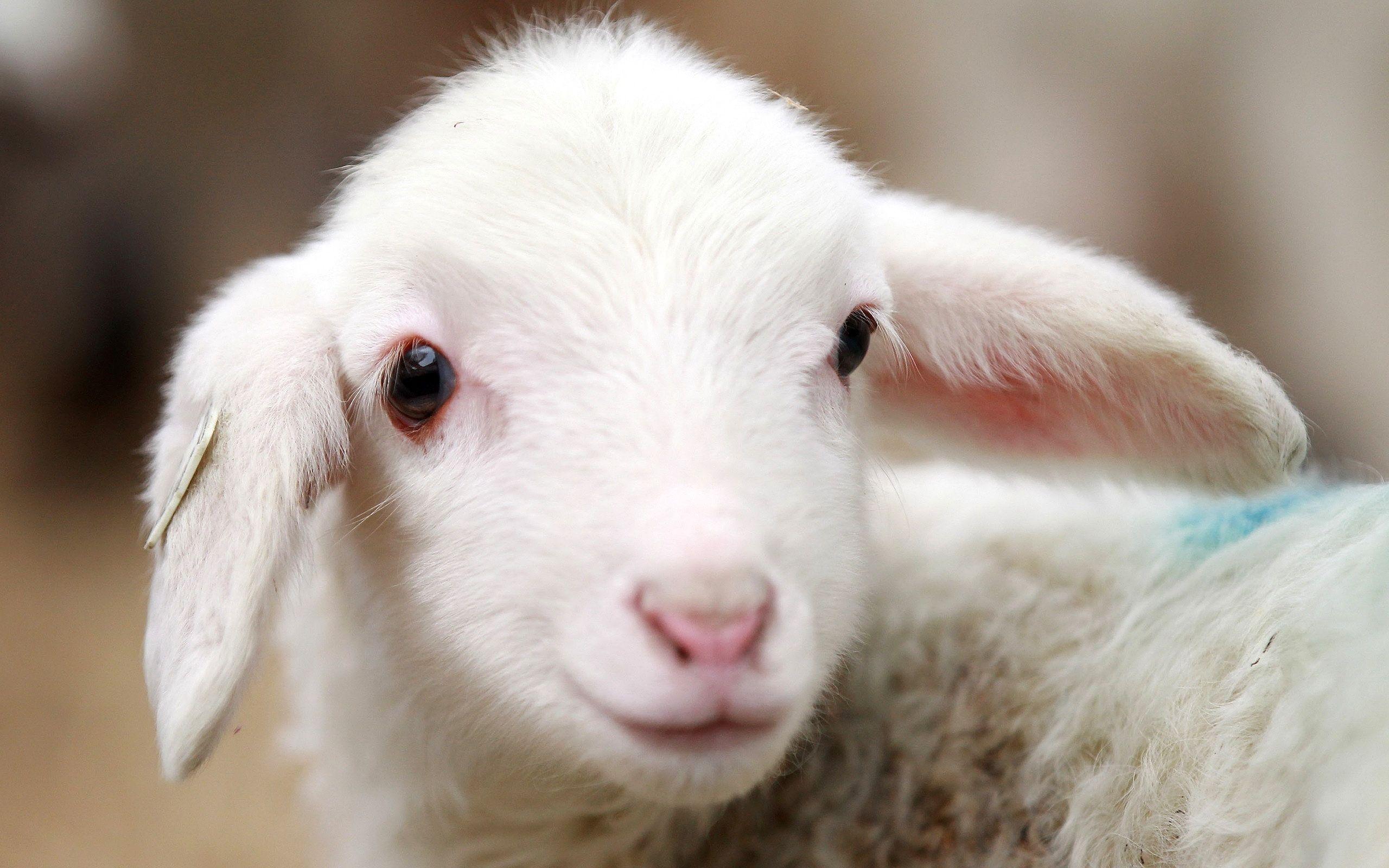 Comportamentul oilor când spiritul de turmă învinge