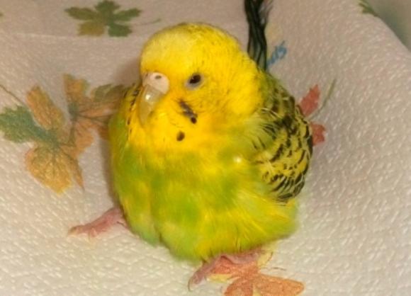 Retenția oului la păsări - zooland ro