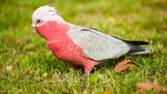 Papagal gri african - Wikipedia