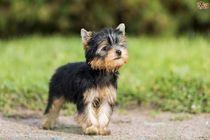 caut spre adoptie un catel yorkshire terrier