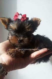 Doresc sa adopt yorkshire mini toy!