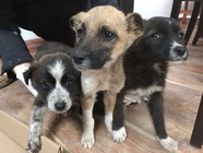 Adopție 3 cățeluși