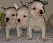 Bulldogs franceză