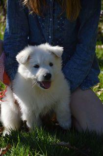 Puppy Adorabil alb elvețian Shepherd caută refugiu