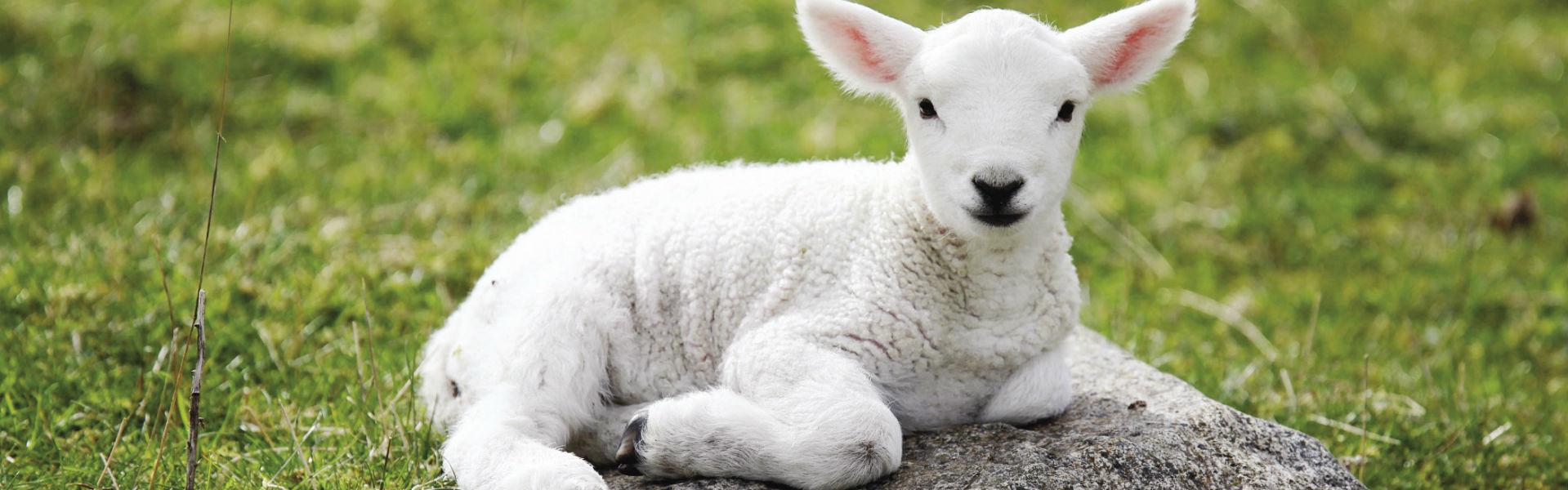 Comportamentul oilor: când spiritul de turmă învinge
