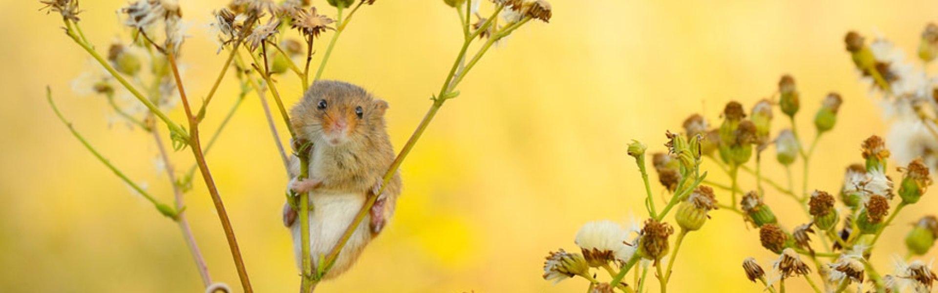28 de imagini superbe cu şoareci de câmp surprinşi în sălbăticie
