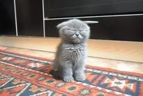 Hi, hi, hi! Pisicuţa aceasta adoarme stând în picioare! Clipul este A-DO-RA-BIL!