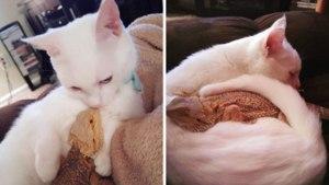 Fascinanta prietenie dintre o pisică și un dragon bărbos – Imaginile au cucerit toți internauții - Galerie Foto