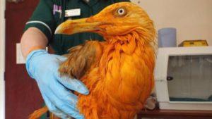 Pescărușul portocaliu a ajuns vedetă pe internet. Nu veți ghici nici în 1000 de ani ce a pățit micuțul :))) – VIDEO