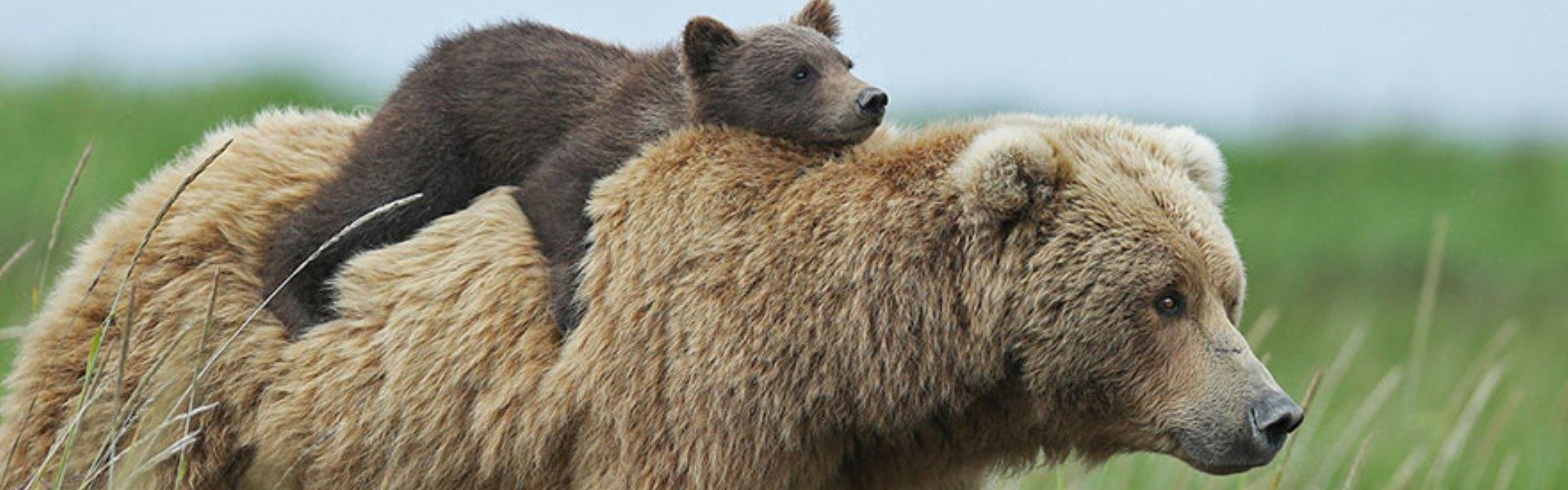 Cele mai responsabile mămici ursoaice: îşi învaţă puiuţii tainele supravieţuirii - Galerie Foto