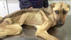 Este incredibilă transformarea  acestui câine înfometat! Nici nu se mai putea ține pe picioare – VIDEO emoționant