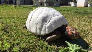Prima broască țestoasă  din lume care a primit o carapace întreagă imprimată 3D. De ce suferea micuța – Galerie foto și VIDEO