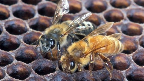 ucigaș hipergenetic albine de grăsime cum să ardeți grăsimea în coapsă