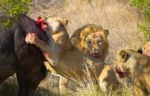 Regele junglei, îngenuncheat! Lupta pe viaţă şi pe moarte