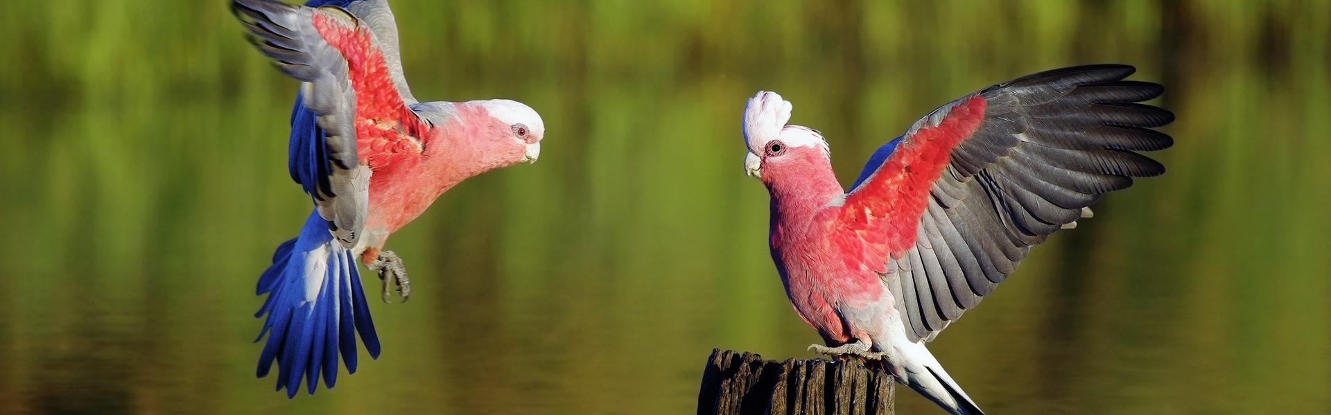 Retenția oului la păsări