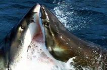 Bătaie PE VIAȚĂ ȘI PE MOARTE între doi rechini! Moment unic surprins pe cameră! VIDEO
