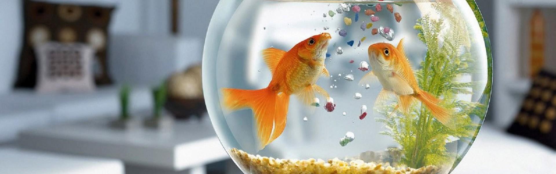 Pierderea intensității culorii la peștii de acvariu