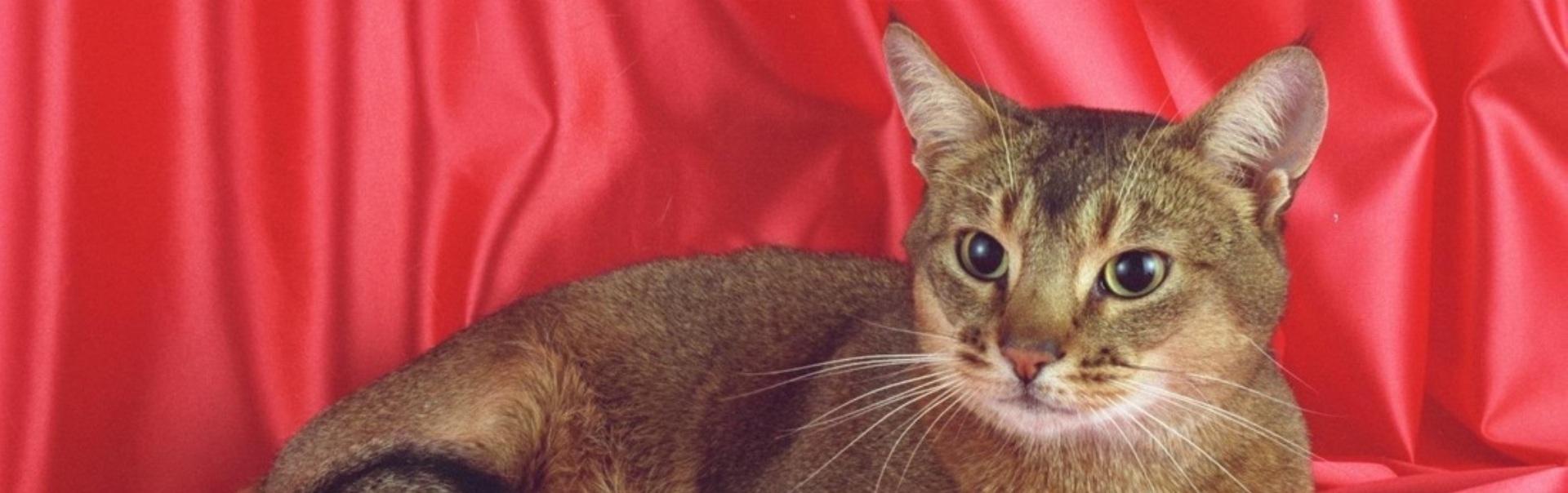 Top 10 cele mai inteligente rase de pisici