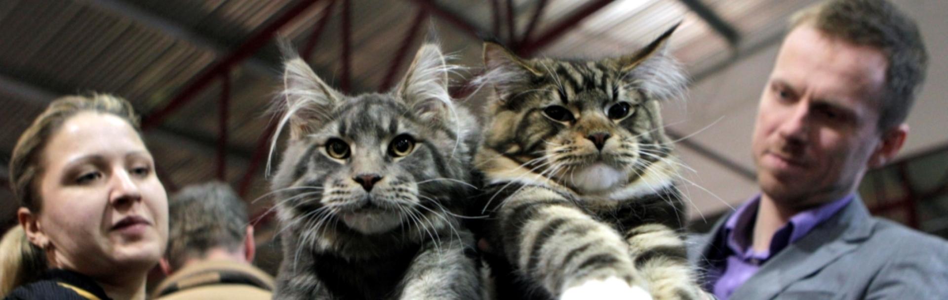 14 pisici uriaşe, care fac din stăpânii lor nişte pitici - Galerie Foto