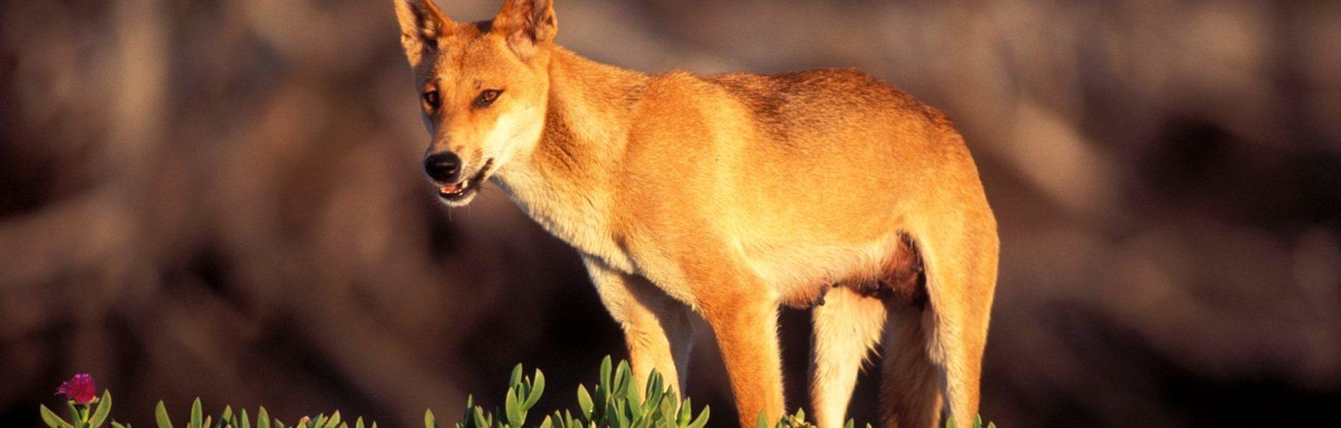 Câinele dingo australian - Canis lupus dingo