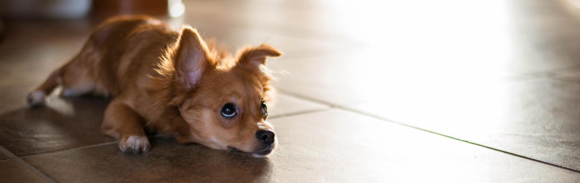 Cum să-ţi îngrijeşti căţelul care suferă de artrită?