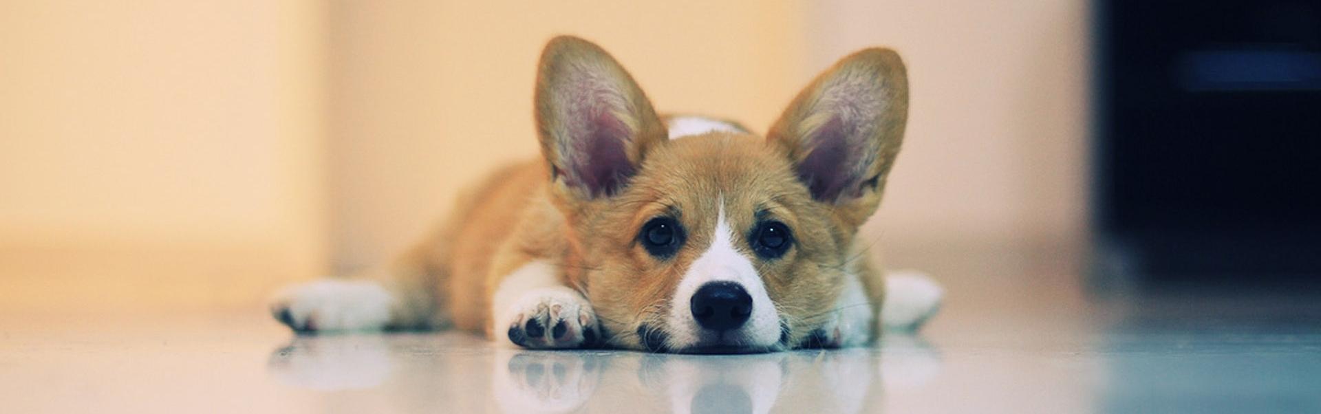 Curăţarea urechilor la câini – de ce şi cum să faci asta într-un mod cât mai corect