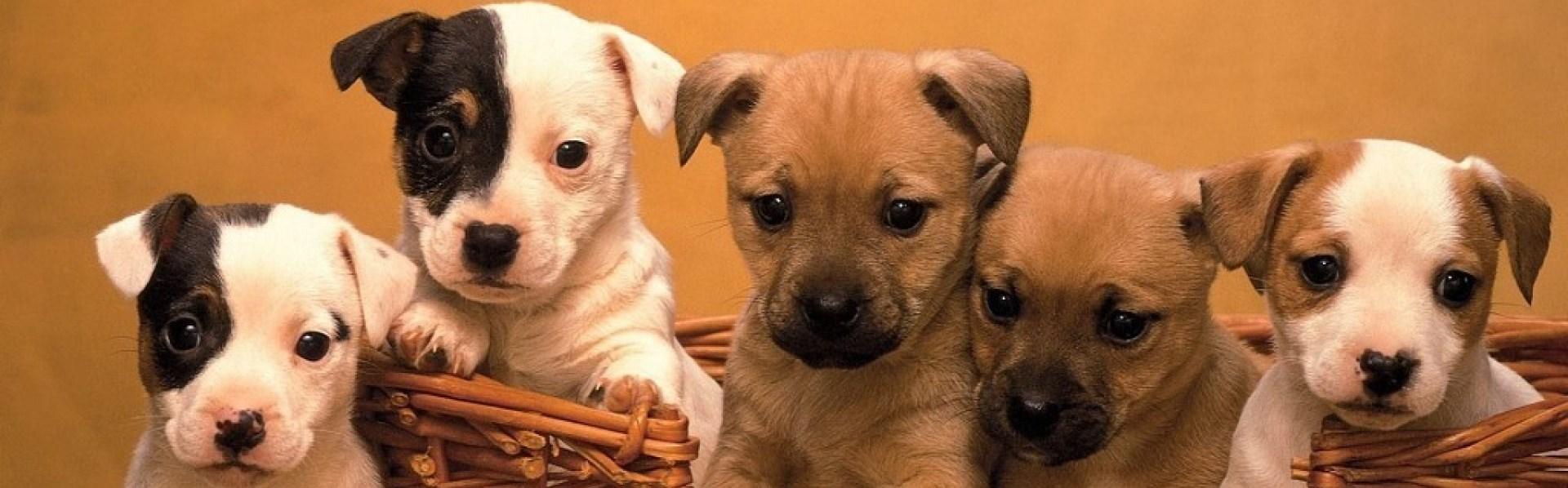 Cum să adopţi în siguranţă un căţel, când căţeaua familei este deja gravidă