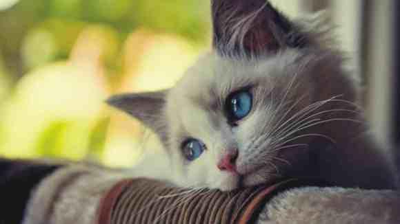 Epilepsia La Pisici Simptome Cauze Si Tratament