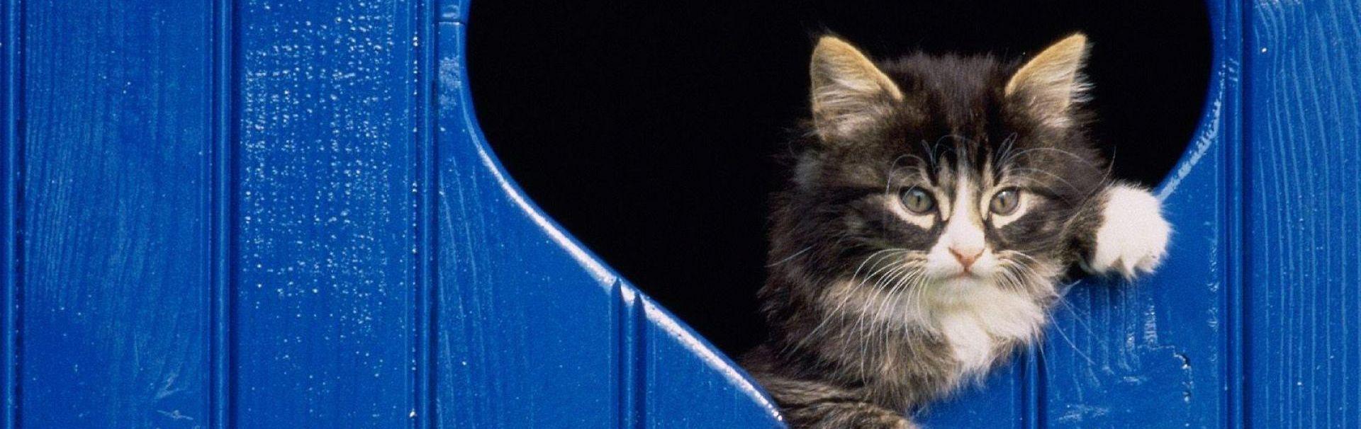 Cum învățăm pisica să folosească ușița batantă?