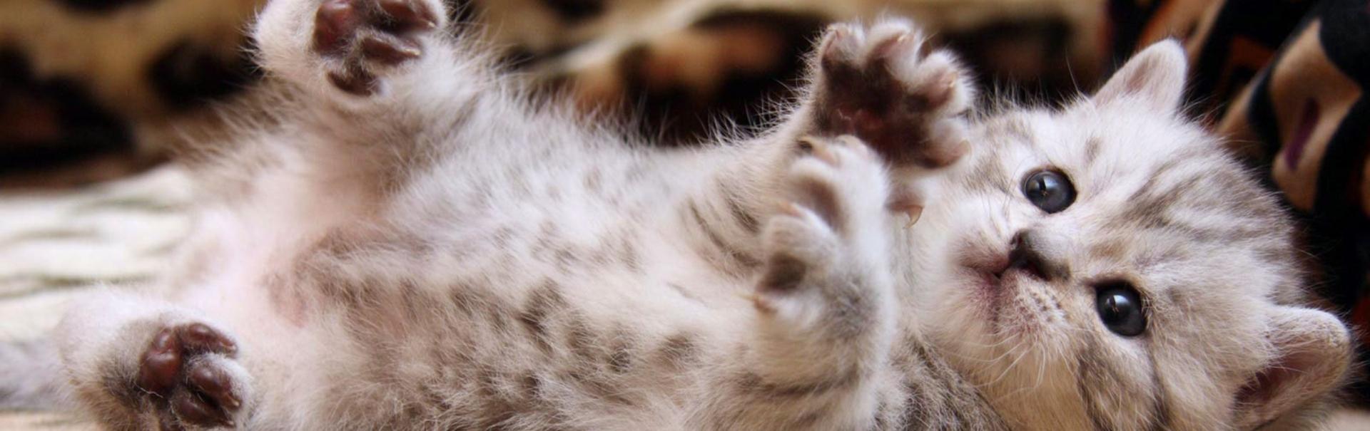 Mușcături din dragoste – de ce atacă pisica atunci când o mângâiem?