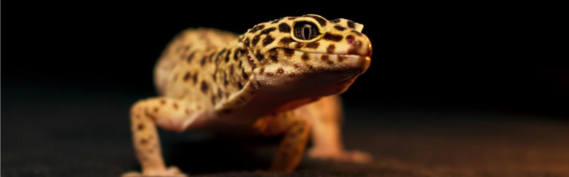 5 specii de reptile potrivite ca animale de companie