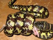 Imagini incredibile: ce încearcă să înghită un şarpe - GALERIE