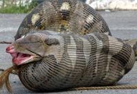 Un bărbat se va lăsa MÂNCAT DE VIU de o anaconda. MOTIVUL