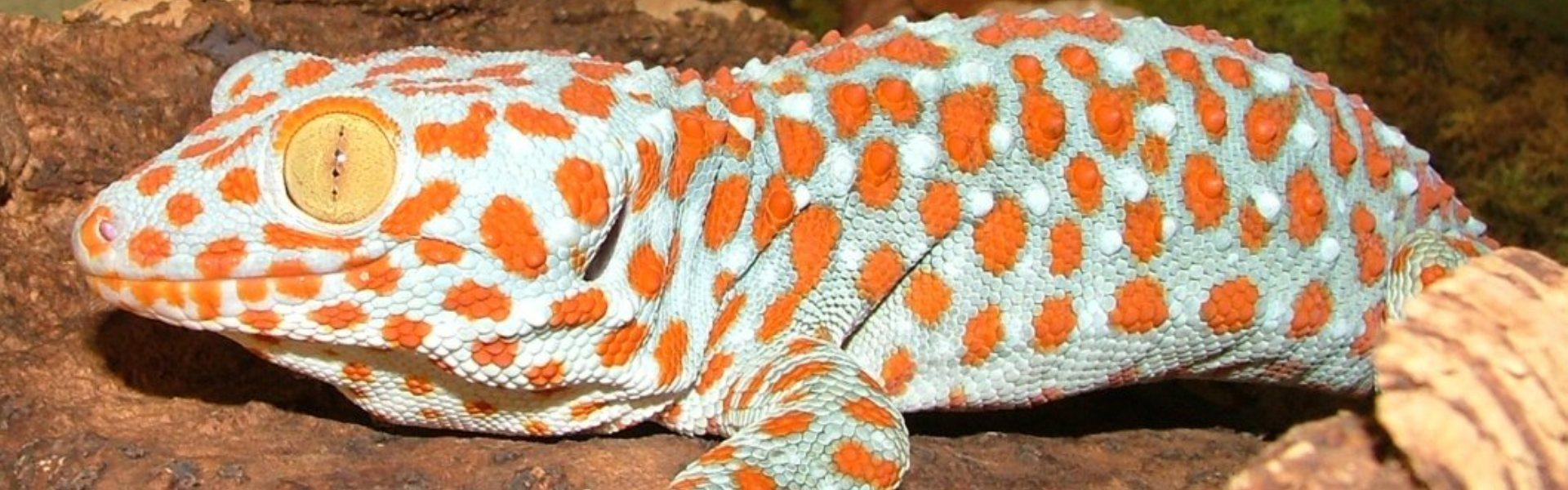 Îngrijire Gecko Tokay - una dintre cele mai mari specii de Gecko din lume